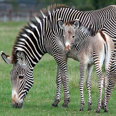 Baby-Zebra-zebras-24515215-400-400